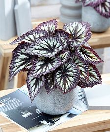 Buy house plants now Leafy Begonia 'Caracas'