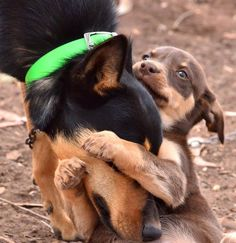 Oh so sweet. Kelpie pup and mum xx