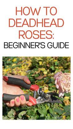 Gardening For Beginners, Gardening Tips, Flower Gardening, Planting Fruit Trees, Trees To Plant, Deadheading Roses, Rose Bush Care, Garden Plants, Garden Roses