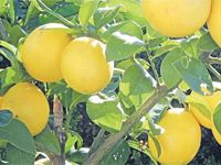 This is a good time of the year to do a bit of maintenance on your citrus trees. Here's how.