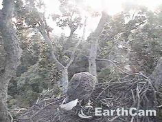 Check out Eagle Cam in Washington, DC, United States. http://www.earthcam.com/usa/dc/eagle/ Mom.