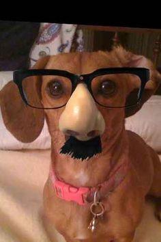 If a dog is man's best friend, a dachshund must be his BFF. Funny Dachshund, Dachshund Love, Daschund, Dachshund Puppies, Funny Dogs, I Love Dogs, Puppy Love, Cute Puppies, Dogs And Puppies