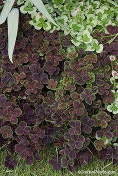 Trifolium repens 'Purpurascens Quadrifolium' - purple four-leaf clover!