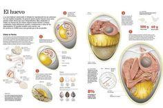 infografia-sobre-el-proceso-de-formacion-del-huevo-en-las-aves-su-composicion-tamano-y-forma_a-G-14372685-10577378.jpg 473×315 píxeles