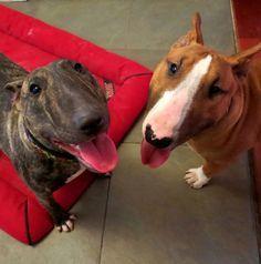 Bull Terrier Love                                                                                                                                                                                 Más