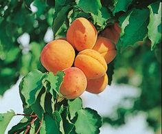 We love fruit trees! Did anyone in Cali (zone 9) plant apricot trees this year? They should be ready to pick soon!  Apricot | Bloom IQ