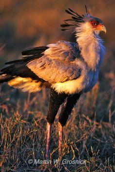 Secretary Bird in morning sunlight, Lake Nakuru National Park, Kenya