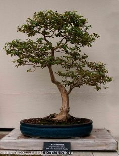 Image result for crepe myrtle bonsai