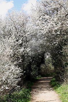 Blackthorn blossom  This is the tree that Kieran Blackthorn, the dryad in the story, chooses to sustain his life. It is used by all Grafters of the Blackthorn clan. www.sussexwildlifetrust.org.uk  #spring #sussex