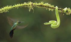 Este tet-a-tet entre una vibora y un colibrí es una de las fotos del año de la prestigiosa Nature's Best Photography. El encuentro entre dos animales cargados de simbolismo fue capturado en Costa Rica por Bence Mate. El colibrí, el ave del sol, y la serpiente, que simboliza la tierra, el conocimiento y el renacimiento eternizan su mirada en este encuentro.
