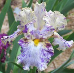 Tall Bearded Iris, Holy Kosmoly