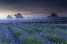 At first glance, you may think these photos were taken in Provence, France at their world famous lavender fields. Beautiful World, Beautiful Places, Beautiful Scenery, Beautiful Gardens, Growing Lavender, Somerset England, England Uk, Lavender Fields, Lavander