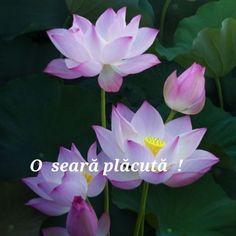Unique Flowers, Red Flowers, Beautiful Flowers, Flowers Nature, Bonsai Seeds, Tree Seeds, Lotus Flower Seeds, Purple Bowls, Glowing Flowers