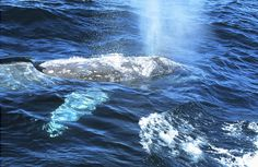 Guests on the Western Wonder Experience are sure to see some exotic creatures in Monterey Bay, CA. Take a look at this Gray Whale spotted during a Whale Watching visit. We think it's beautiful, how about you?