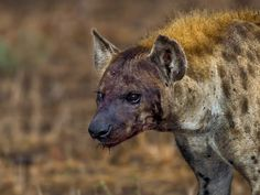 This Hyena with one blind eye and face covered all in blood was captured in Kruger national Park South Africa. Hyenas are not members of the dog or cat families. Instead, they have their own family, called the Hyaenidae. While hyenas are known as scavengers, they also possess great intelligence and skill on the hunt.