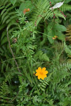 キバナコスモスでしょうか。緑の野にひときわ鮮やかな花が一輪。ファインダーごしに覗くと、周りの雑草のピンクや、枯れたかけた花のオレンジも目に入 Photography Portfolio, Plants, Plant, Planets