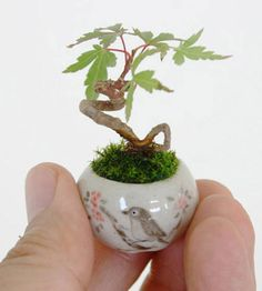 Is your tiny studio apartment too tiny even for a bonsai tree? These are easily small enough. Apparently there's an ultra-small bonsai trend sweeping the home decor world. See more bonsai trees at www. Mini Bonsai, Bonsai Indoor, Bonsai Plants, Bonsai Garden, Air Plants, Garden Plants, Indoor Plants, Bonsai Trees, Bamboo Plants
