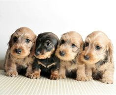 adorable dachshund puppies
