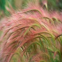 Foxtail Barley Ornamental Grass Seeds (Hordeum jubatum) 100+Seeds - Under The Sun Seeds  - 2