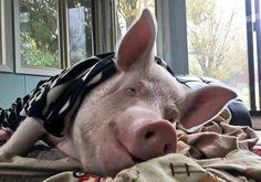 foto di Esther the Wonder Pig.