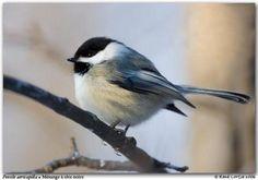 Mésange à tête noire Bird Feeders, Wildlife, Chickadees, Birds, Nature, Drawings, Pastels, Tattoo, Photos