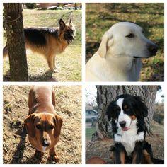 Estos son mis cuatro perros. Amo lo animales pero los perros son mis favoritos. Están siempre cerca de ti y nunca te traicionarán. Los perros son los mejores amigos de los hombres.