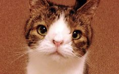"""""""Monty The Special Cat With A Big Heart"""" Proof that having a beautiful Spirit is true beauty -no deformity, anomaly, age nor even death can diminish it. Beautiful Cats, Animals Beautiful, Cute Animals, Crazy Cat Lady, Crazy Cats, All Types Of Cats, Ugly Cat, American Shorthair Cat, Cat Nose"""