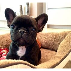 French Bulldog #Puppy