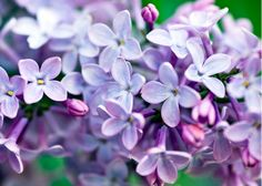 so many good memories associated with the scent of lilacs