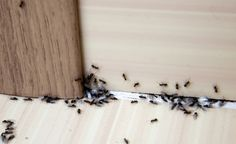 Sugar Ants, Ant Problem, Black Ants, Household Pests, Household Tips, Insecticide, Get Rid Of Ants, Fire Ants, Bees And Wasps