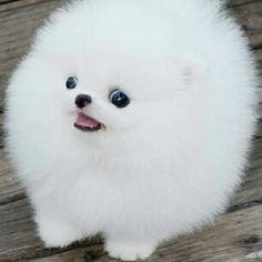 cute white pomerian