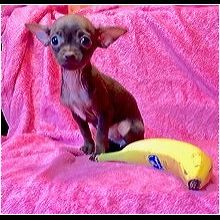 14 Best Chihuahua Rescue images in 2016 | Dogs, Chihuahua