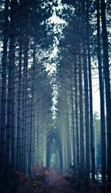 Tall, misty trees