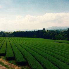 It's a tea plantation in Kagoshima,Japan.