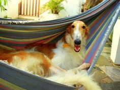 Sharing the love of my life. My borzoi, Tost. <3