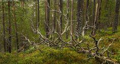 Hossa - Hossa Hossan retkeilyalue kansallispuisto Suomussalmi harju harjumetsä Huosiharju kelo maakelo retkikohde luontokohde syksy ruska ruska-aika kangasmetsä tuore mäntymetsä männikkö