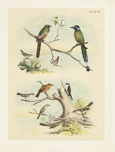 Costa Hummingbird, Mexican Trogon - Studer Birds of America: Drawn & Coloured from Life 1878