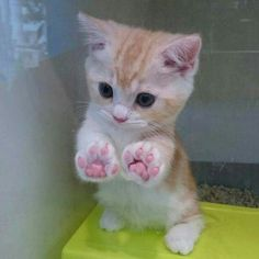 27 great cat pictures when life is shitty again - And this tiny kitten with the perfect paws. And this tiny kitten with the perfect paws. And this ti - Cute Little Animals, Cute Funny Animals, Funny Cats, Cute Cats And Kittens, Baby Cats, Kitty Cats, Adorable Kittens, Cat Paws, Ragdoll Kittens