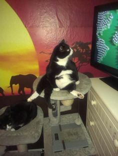 This is Harry the once feral cat! This is his favorite spot on front of the tv.