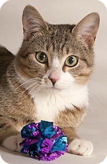 Chicago, IL - Domestic Shorthair. Meet Colin, a cat for adoption. http://www.adoptapet.com/pet/15811277-chicago-illinois-cat
