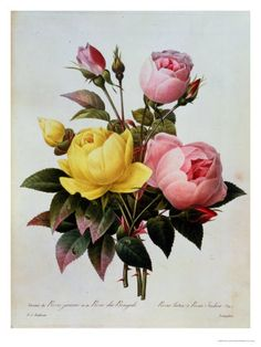 Yellow and pink rose botanical print
