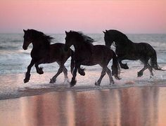 Friesians running on a beach