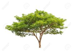 20360794-Rain-tree-Samanea-saman-tropical-tree-in-the-northeast-of-Thailand-isolated-on-white-background-Stock-Photo.jpg (1300×928)