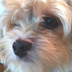 Morkie - can't believe how much this dog looks just like my Stuey <3