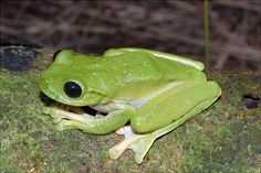 This large tree frog with enormous eyes was one of 50 new animal species recently discovered by scientists on an expedition to Papua New Guinea.  But it's just one of the many amazing wonders of the animal kingdom.