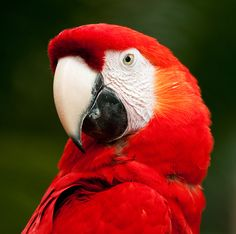 scarlet macaw...someday