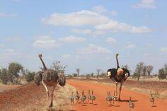 Mamma e papà struzzo corrono con i loro piccoli, nello Tsavo National Park #Kenya #magicalkenya #imprevedibilekenya