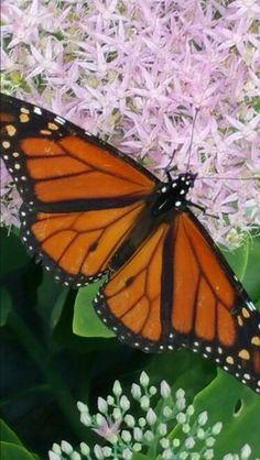 ec80cdeb5 12 Best فراشات images   Butterflies, Beautiful butterflies ...