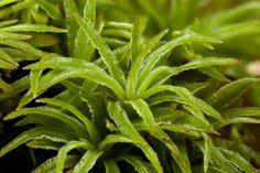 "Atrichum angustatum ""slender starburst moss"""