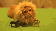 A fierce lion of the savannah terrorizing his helpless prey: | 30 Animal Pictures That Will Make You A Better Person <--- legitimately adorable